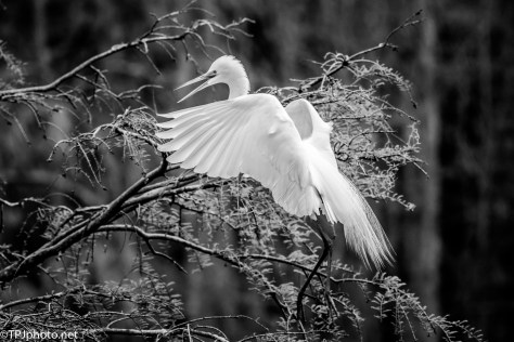 Black And White Shot Of A Great Egret - Click To Enlarge