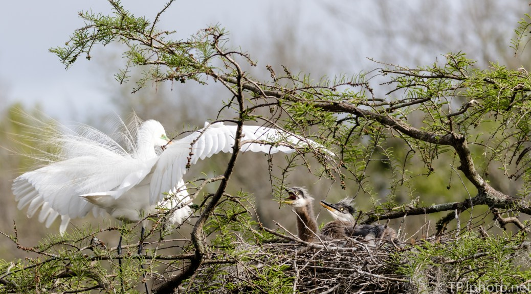 Tale Of Two Herons, An Attack - Click To Enlarge