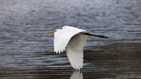 Great Egret Fly By - Click To Enlarge