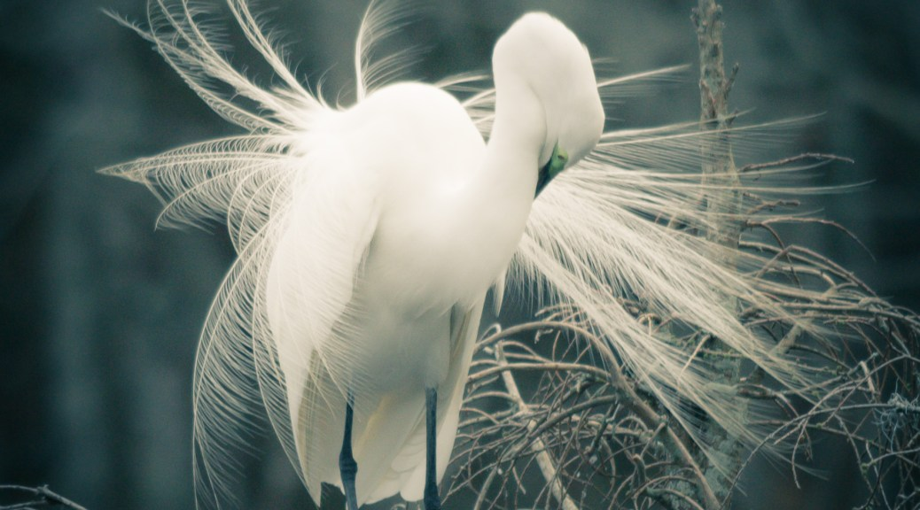 Great Egret Breeding Plumage - Click To Enlarge