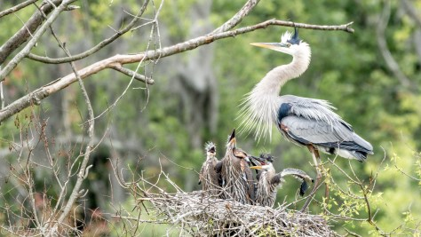 Family Gathering, Herons - Click To Enlarge