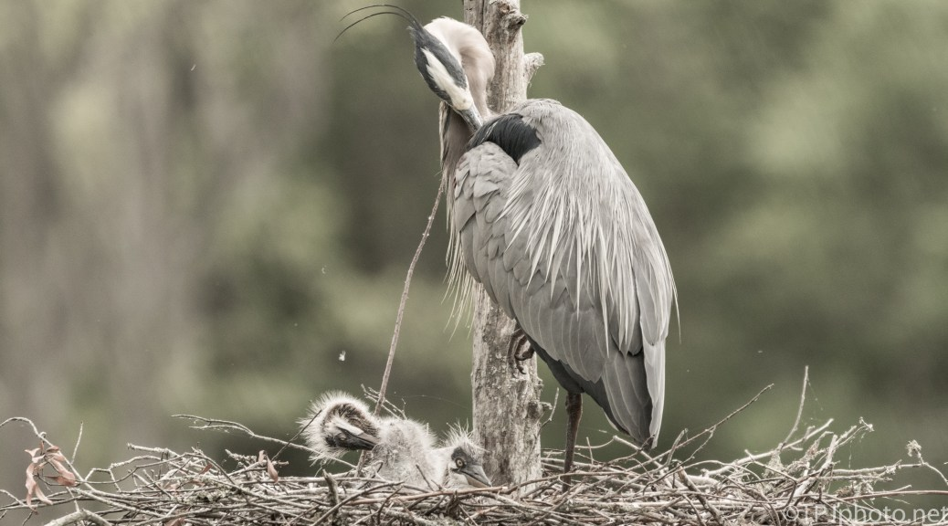 Herons, They Are Taught To Scratch - Click To Enlarge