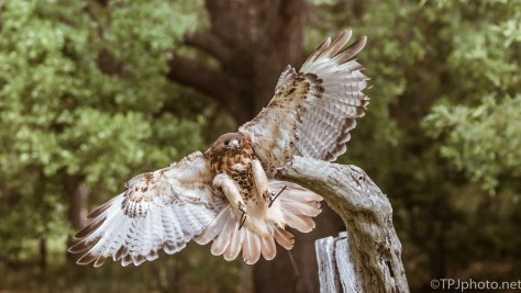 Red-tailed Hawk Landing - Click To Enlarge