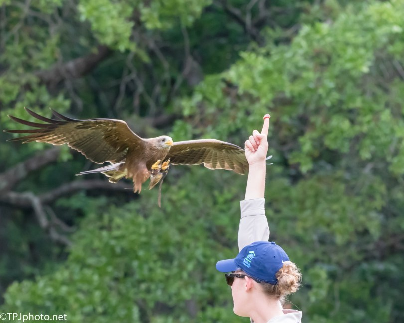 Kite, Catches And Eats In Mid-Air - Click To Enlarge