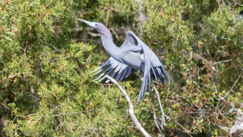Photo Bombed, Little Blue Heron - Click To Enlarge