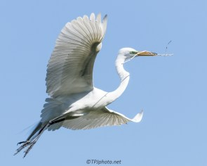 Great Egret Sets For A Landing - Click To Enlarge