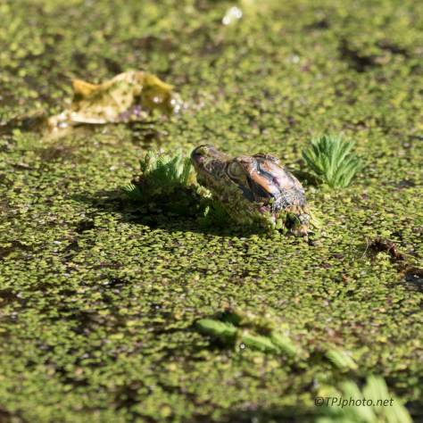 New Born Alligator - Click To Enlarge