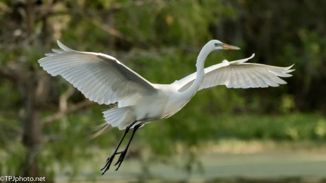 Quick Egret In Flight - Click To Enlarge