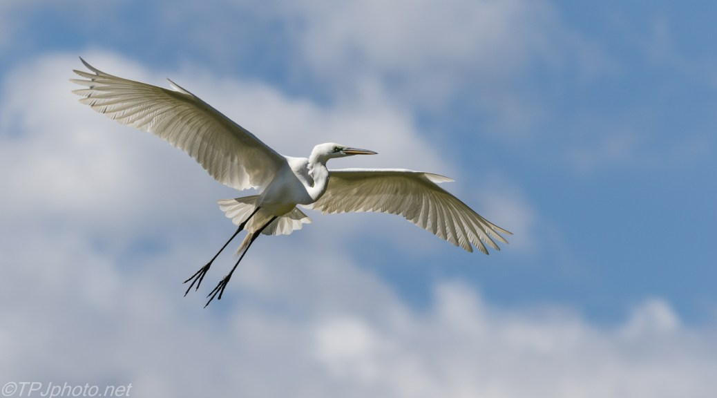 Great Egret, White bird blue sky - Click To Enlarge