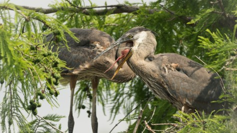 Tale Of Two Herons, A Strange Face - Click To Enlarge