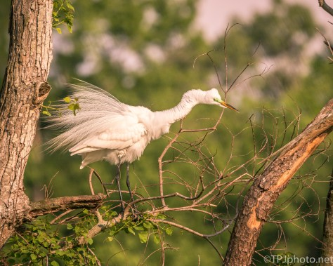 Great Egret In Fading Sun - Click To Enlarge