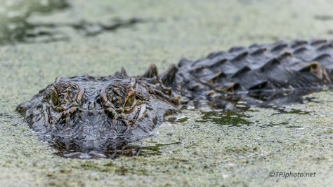 Staring Contest, Alligator - Click To Enlarge