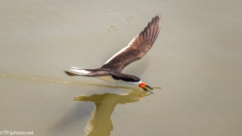 Black Skimmer - Click To Enlarge