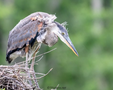 Young Great Blue Heron Planning Escape - Click To Enlarge