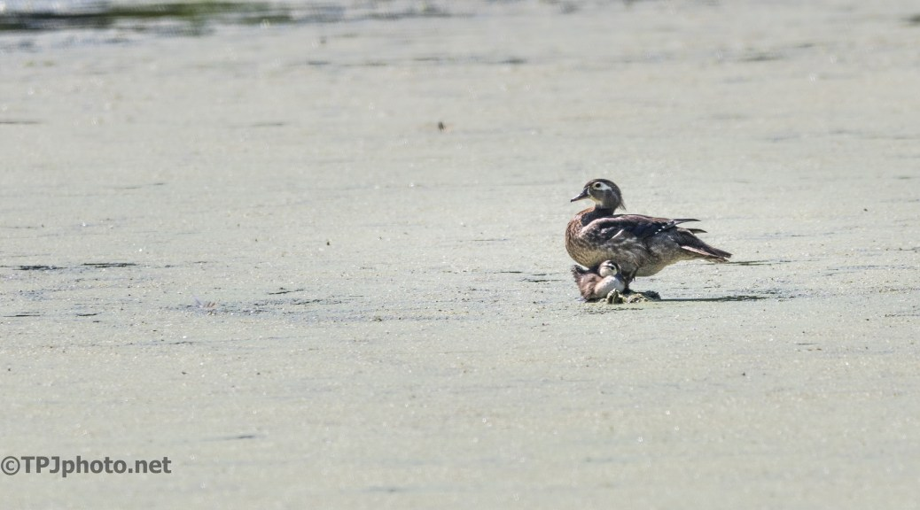 Wood Duck Family - Click To Enlarge