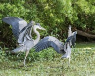 Sibling Rivalry, Herons - Click To Enlarge