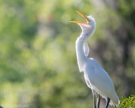 Great Egrets On The Nest - Click To Enlarge