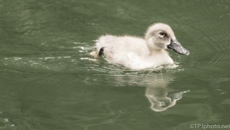 Baby Duck - Click To Enlarge