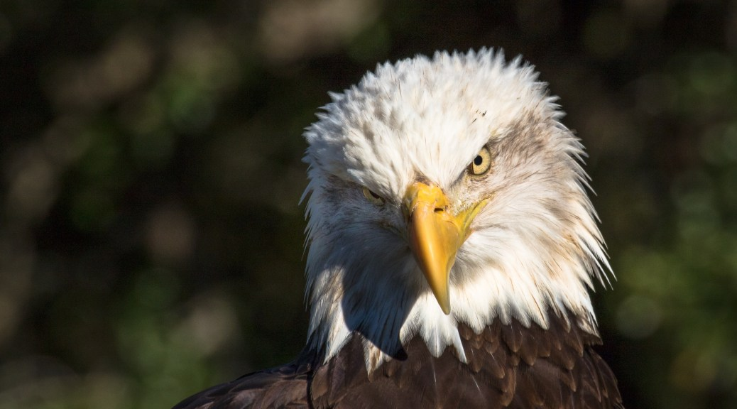 US National Bald Eagle Day, June 20th - Click To Enlarge