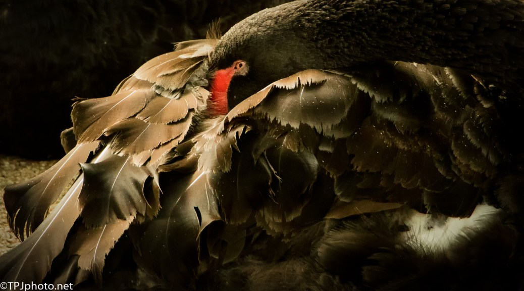 Black Swan Up Close - Click To Enlarge