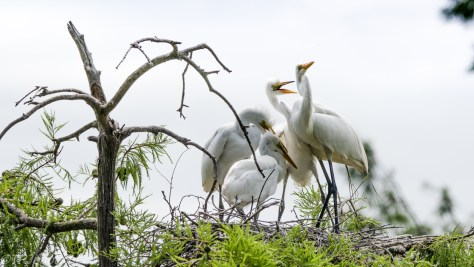 Great Egret Nest Activity - Click To Enlarge