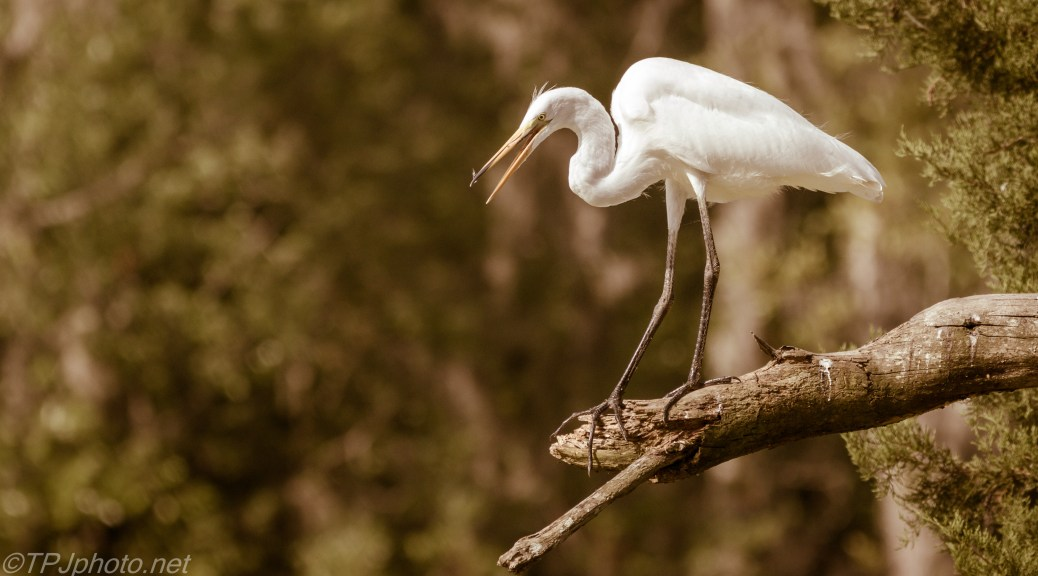 In The Heat, Great Egret - Click To Enlarge