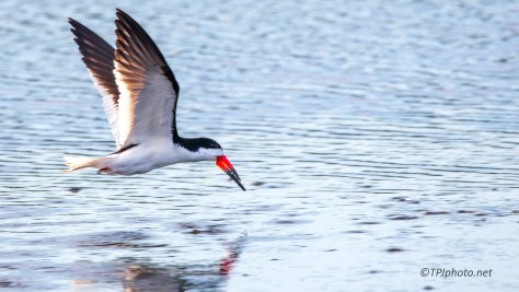 Black Skimmer In My Face - Click To Enlarge