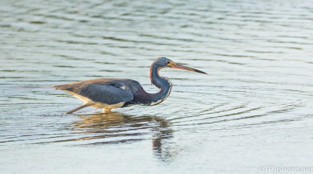Tricolored Heron Walking Around - Click To Enlarge