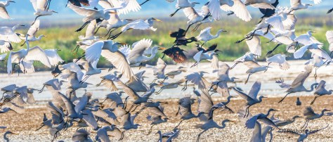 Egret, Ibis, Stork, Spoonbill, Etc., Fly By - Click To Enlarge