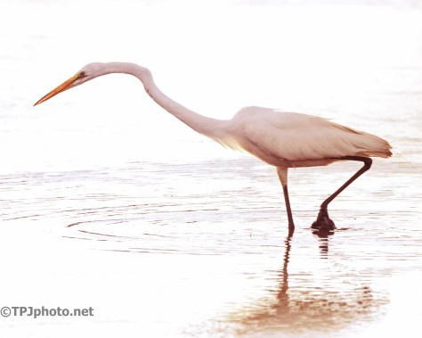 Plodding Through The Pluff Mud, Great Egret - Click To Enlarge