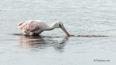 Enthusiastic Young Spoonbill Fishing - Click To Enlarge