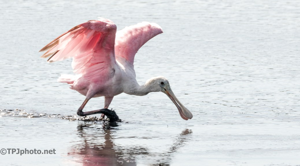 Spoonbill Running To Claim The Best Spot - Click To Enlarge