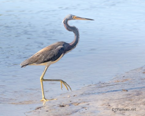 Tricolored Heron, Morning Sun - Click To Enlarge