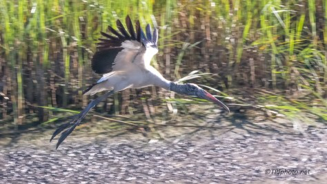 Wood Stork, Where Did He Come From - Click To Enlarge