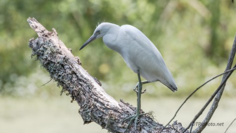 Young Heron, Testing - Click To Enlarge