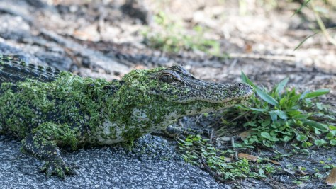 This Is My Spot, Alligator - Click To Enlarge