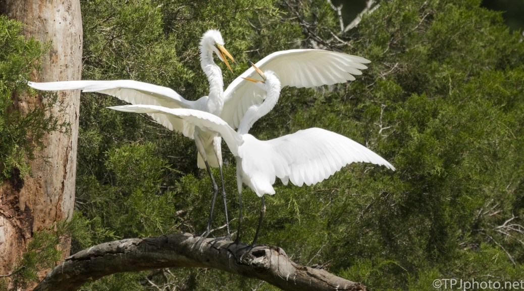 Great Egrets - Click To Enlarge