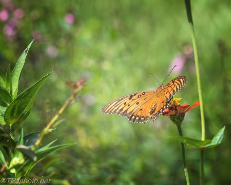 Butterfly Series - Click To Enlarge