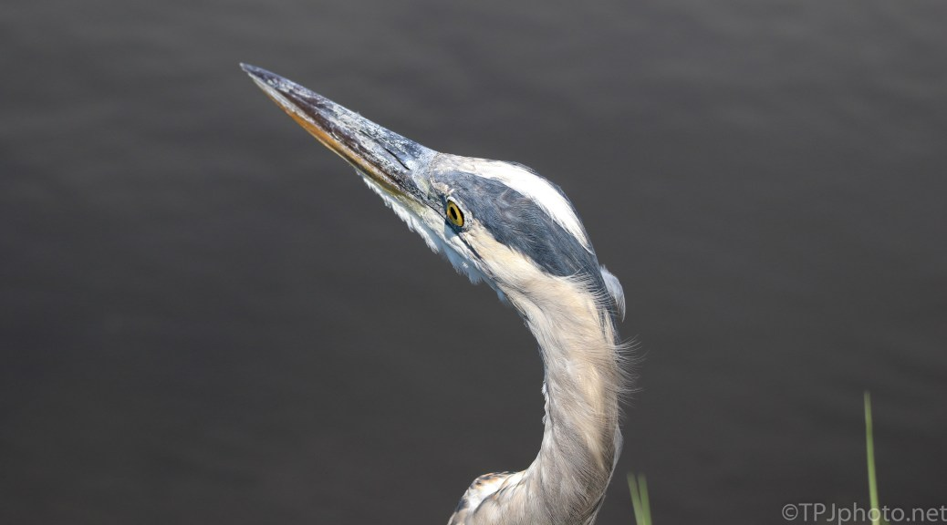 I was Here First, Great Blue Heron - Click To Enlarge
