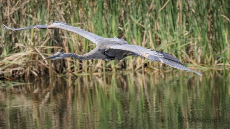 Sailing, Great Blue Heron - Click To Enlarge