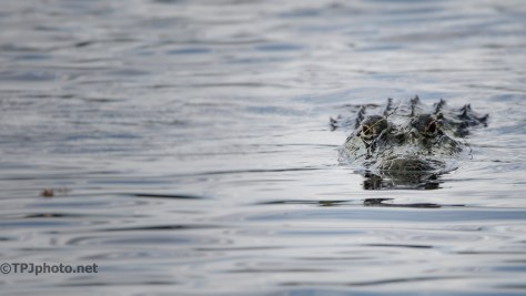 Alligator Watching - Click To Enlarge