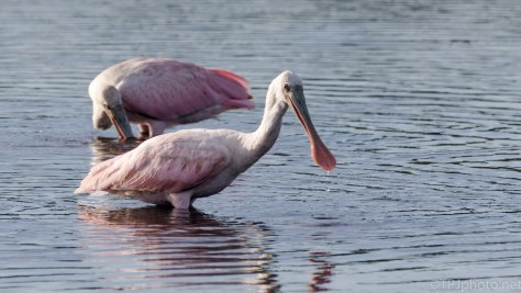 Big And Pink, Roseate Spoonbills - Click To Enlarge