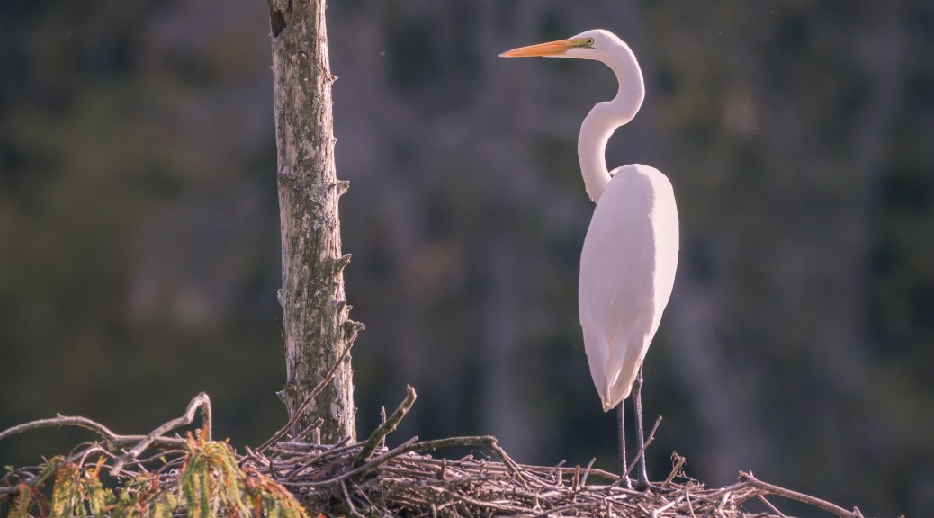 Great Egret, Home For A Visit - Click To Enlarge