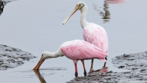 Spoonbills, Low Tide In A Marsh - click to enlarge
