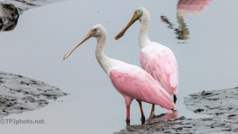Roseate Spoonbill Portraits - click to enlarge