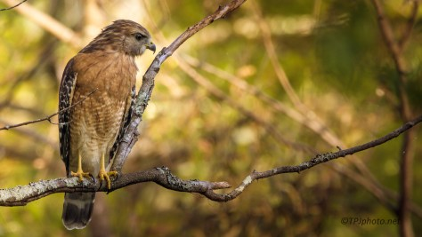 Red Shouldered Hawk - Click To Enlarge