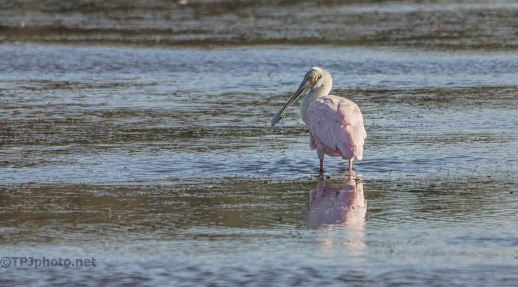 Spoonbill Watching Closely - Click To Enlarge