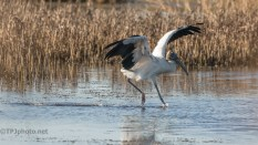The Landing Actually Ended Well, Wood Stork - click to enlarge