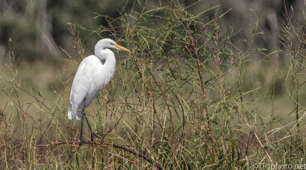 Great Egret At Bear Island WMA - click to enlarge