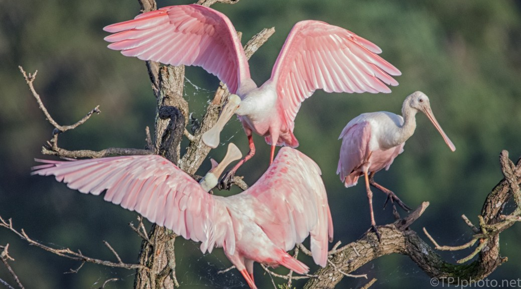 Angry Spoonbills - click to enlarge